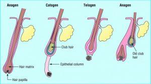 hair-lifespan